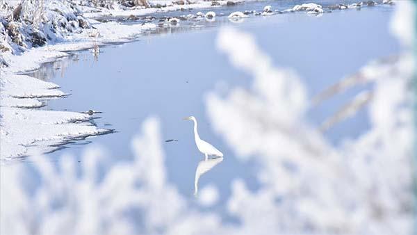 Göçmen kuşlar Kars'taki sulak alanları mesken tuttu