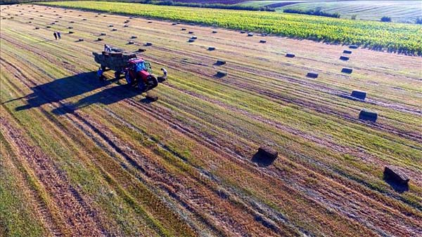 Hasat edilen buğday tarlalarında 'saman mesaisi'