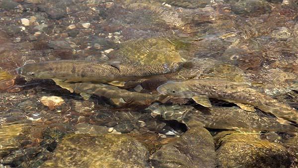 Ak ve sazan balıklarının Munzur Çayı'ndan derelere zorlu yolculuğu
