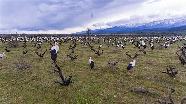Göçmen leylekler Amanos Dağları'nın eteklerinde görsel şölen sundu