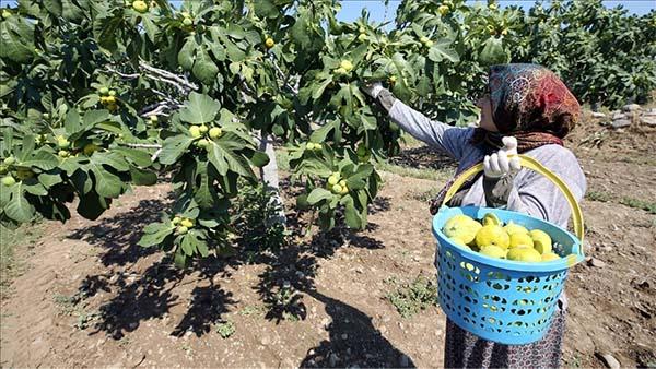 Dünyaca ünlü Aydın incirinde hasat başladı
