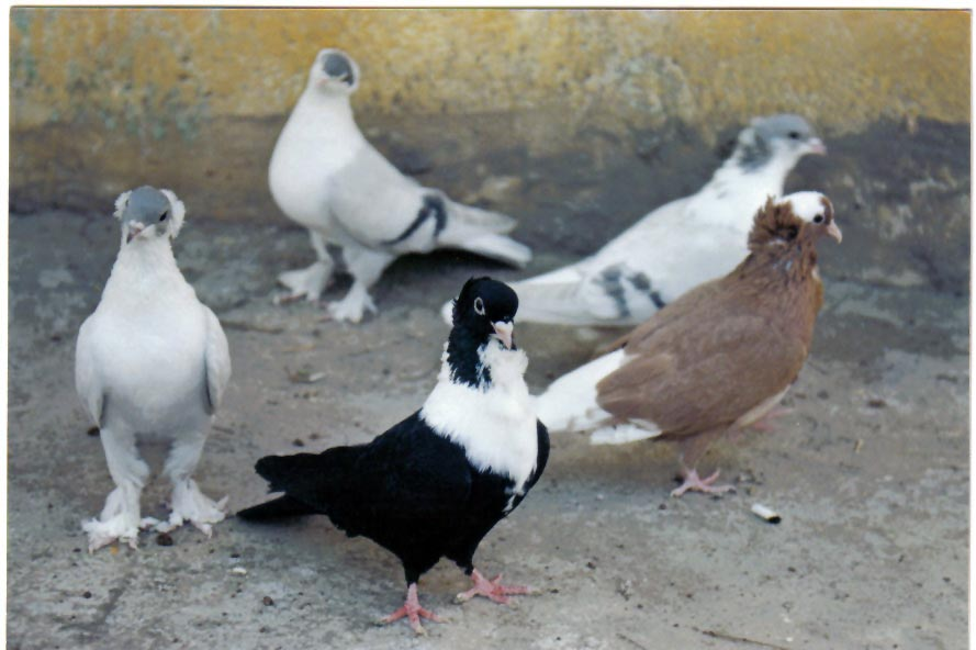 EFU Güvercin Yarışması Mustafakemalpaşa'da