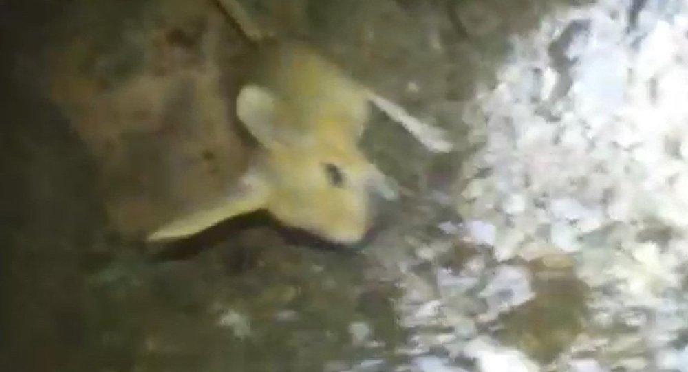 IUCN''nin kırmızı listesinde: Tunceli''de bu kez de kanguru faresi görüntülendi