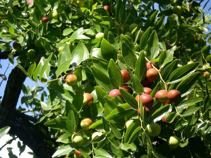 Hünnap Ağacı Nedir Trend Haberleri