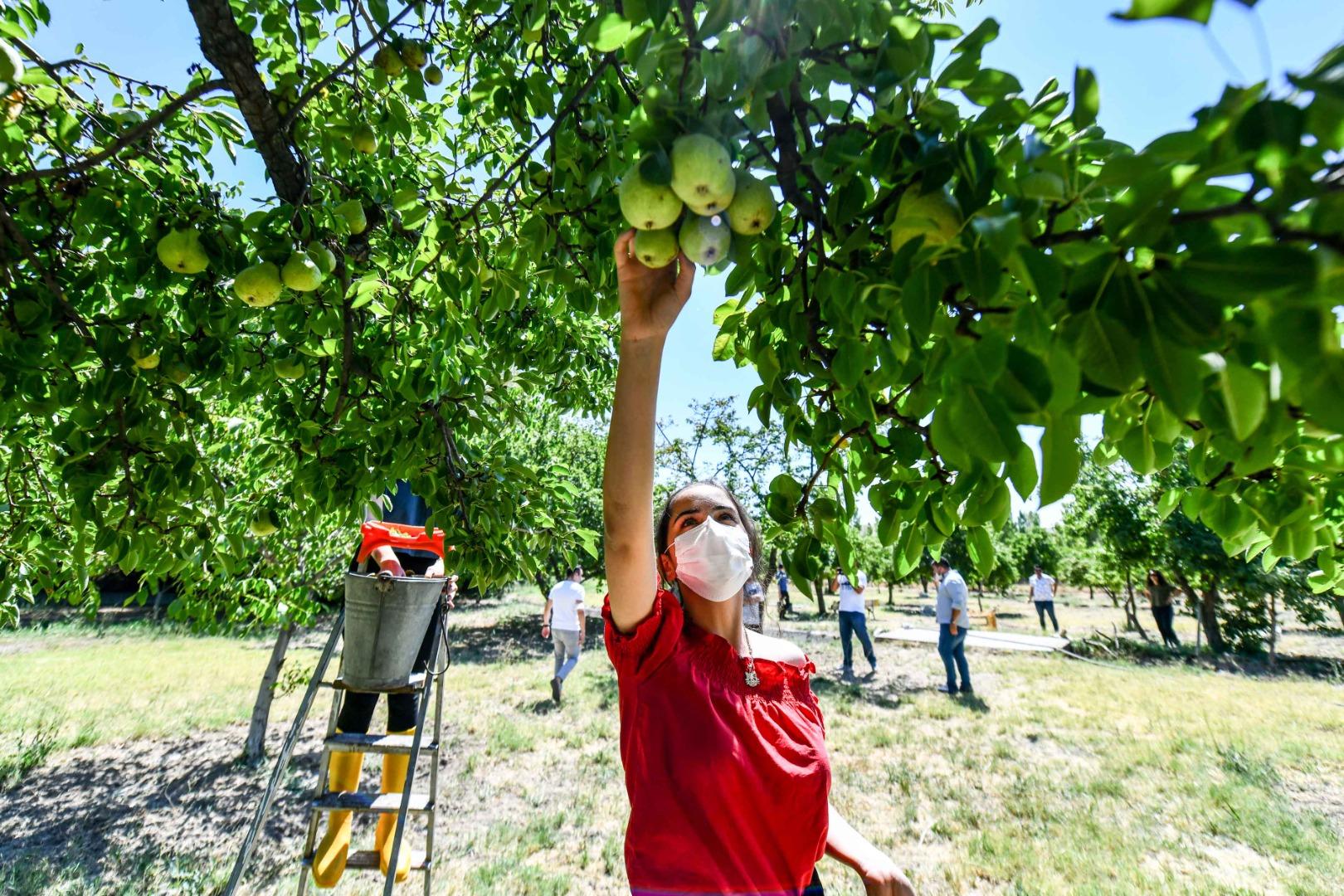 İhtiyaç sahiplerine meyve desteği